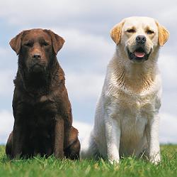 Rangorde bij honden