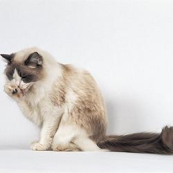 Haarballen bij de kat ontstaan zo…