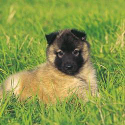Pup ras kruising