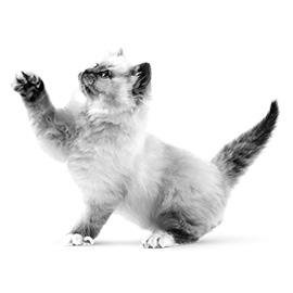 De spieren & botten van jouw kitten groeien snel
