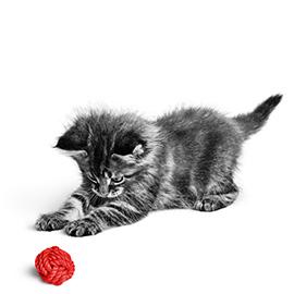 Spelen houdt je kitten gezond