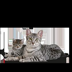 Kies een kitten van een ras dat bij je past