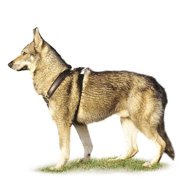 Tsjechoslowaakse Wolfhond