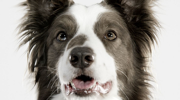 Royal Canin Border Collie