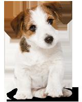 Waarom hangt voeding af van het formaat hond?
