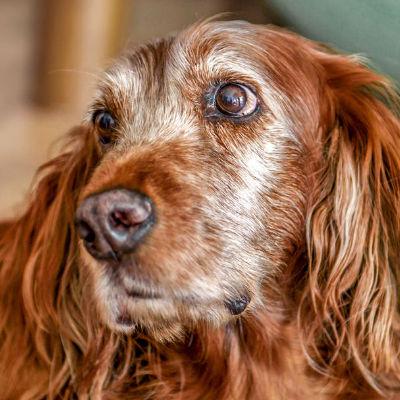 Wat voor voeding geef ik mijn oudere hond?