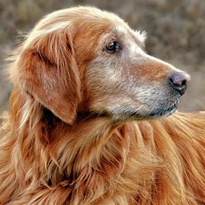 Wanneer is mijn hond oud?