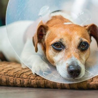 Wat voer ik mijn hond na een operatie?
