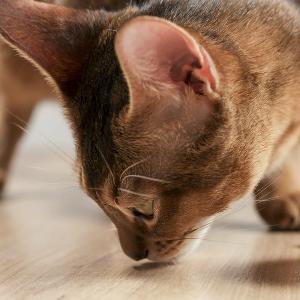 Waarom valt mijn kat ineens af?