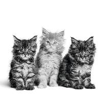 Wat kost een kitten