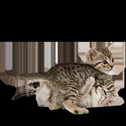 Hoe groeit een kitten?