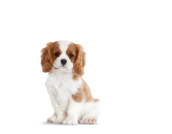 Cavalier King Charles Puppy Producten Royal Canin