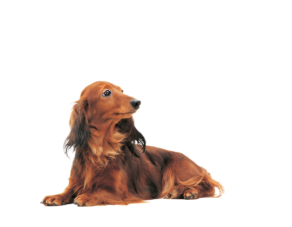 Dachshund Adult Wet