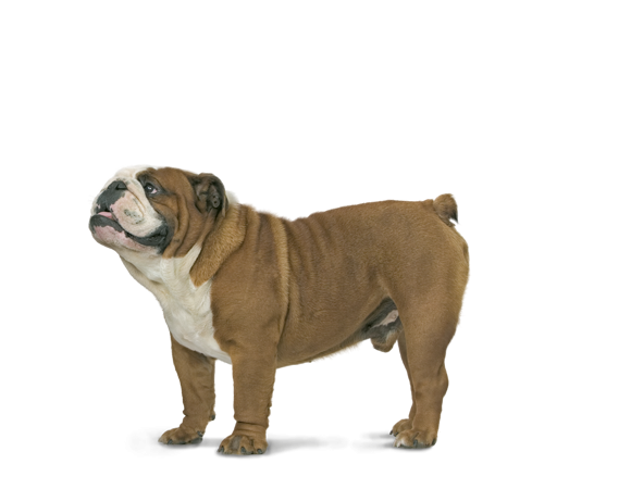 Bulldog Adult