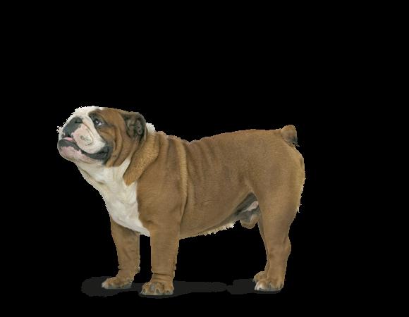 bulldog voer rasspecifiek hondenvoer voor bulldogs royal canin. Black Bedroom Furniture Sets. Home Design Ideas