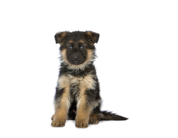 German Shepherd Junior