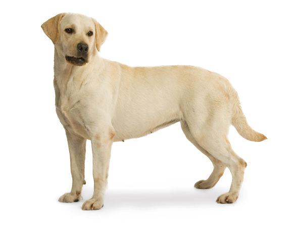 royal canin labrador retriever sterilised. Black Bedroom Furniture Sets. Home Design Ideas