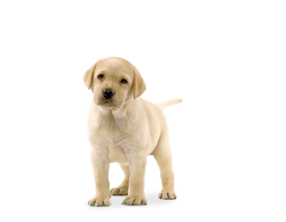 Labrador Retriever Junior