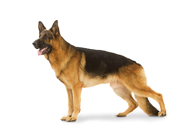 Large Dog Adult