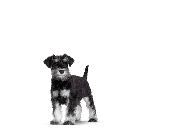 Mini Schnauzer Junior