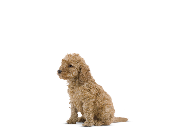Poodle Junior