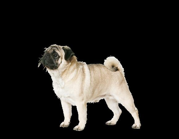 Pug (mopshond) Adult