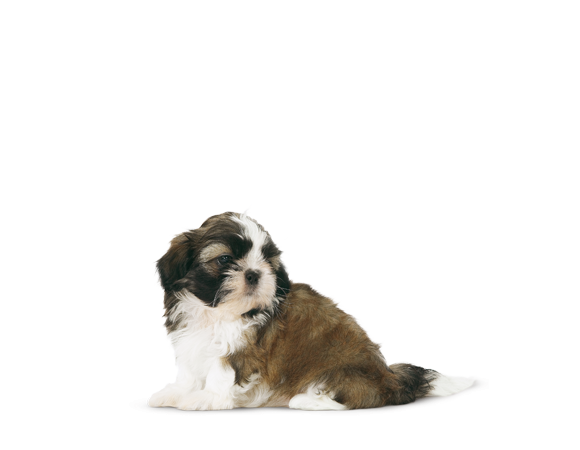 Shih Tzu Junior
