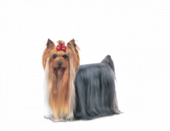 Yorkshire Terrier Wet