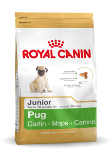 Pug (mopshond) Junior