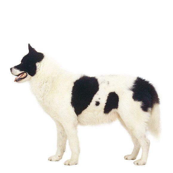Groenlandhond