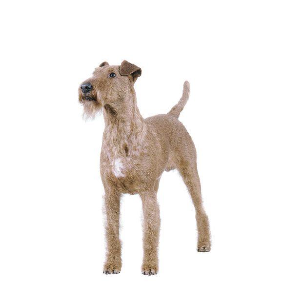 ierse terriër - informatie over de ierse terriër | royal canin