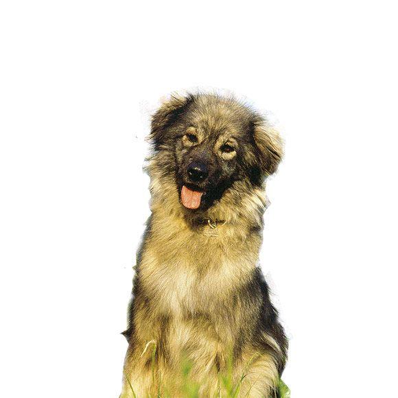 kraski ovcar informatie over de kraski ovcar royal canin