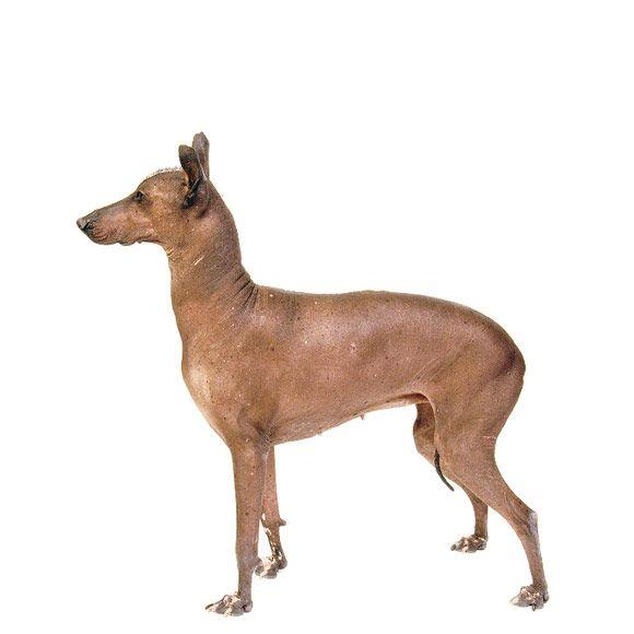 Mexicaanse Naakthond
