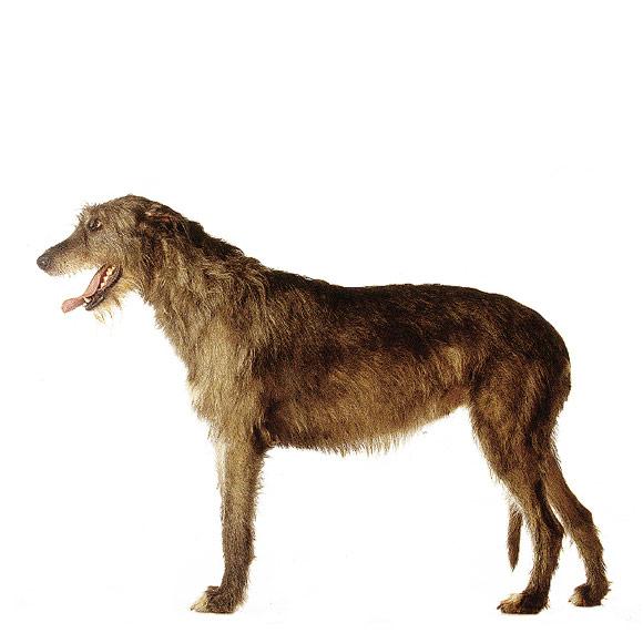 Ierse Wolfshond Informatie Over De Ierse Wolfshond