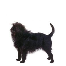 Affenpinscher