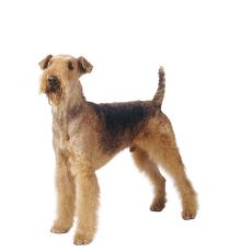 Airedale Terriër