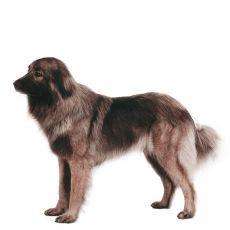 Cão da Serra da Estrela