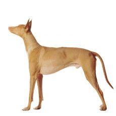Pharaoh hond