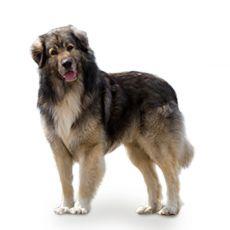 Romanian Carpathian Shepherd dog