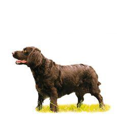 Wachtelhund