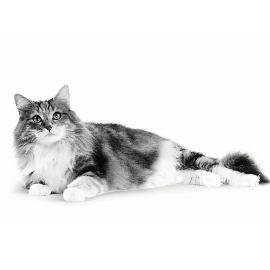 Hoe oud is mijn kat in mensenjaren?