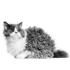 Chronische nierziekte bij de oudere kat