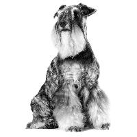 Chronische nierziekte bij de oudere hond