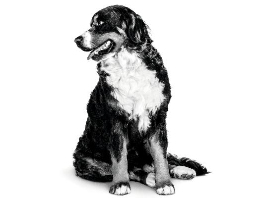 Ouder wordende hond