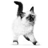 De afweer van jouw kitten is kwetsbaar.