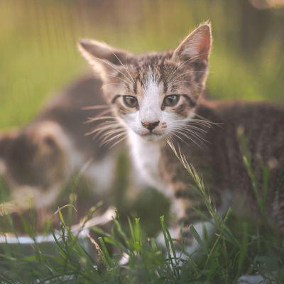 Wat maakt mijn kitten kwetsbaar?