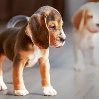 Wat moet ik regelen voor de komst van mijn pup?