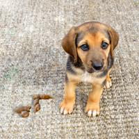 Hoe help ik mijn pup zindelijk worden?