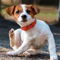 Vlooien bij je hond - vervelend en ongezond!