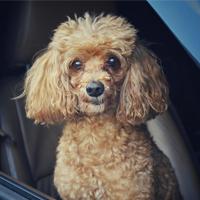 Hond mee in de auto, waar moet je op letten?